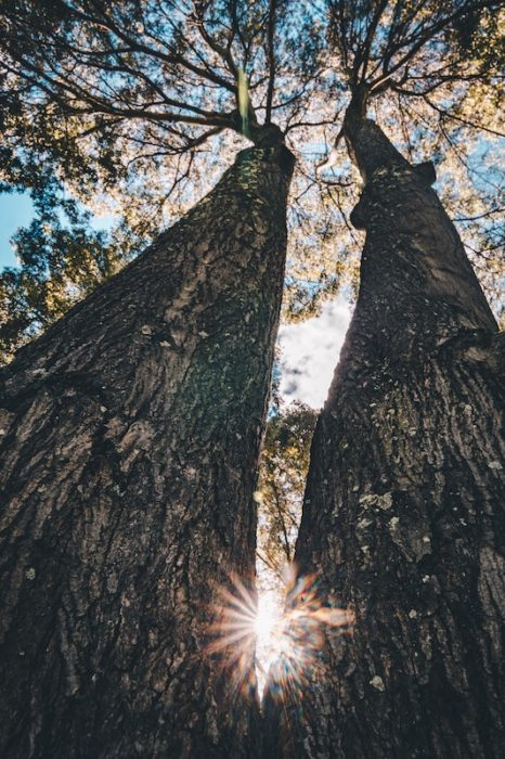 two tall trees with a sunburst between them